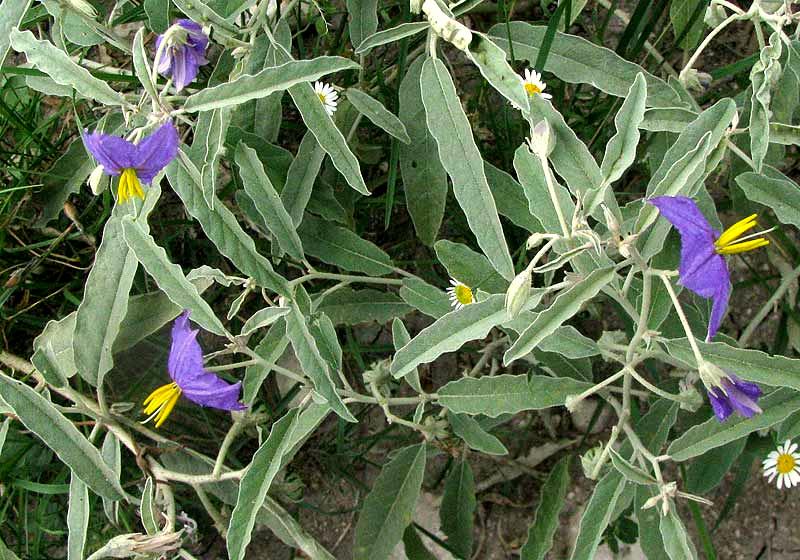 Silverleaf nightshade solanum elaeagnifolium Silverleaf com