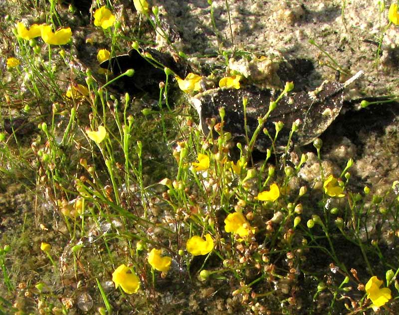 Utricularia Gibba Aquatic Floating Bladderwort Canivorous Plant