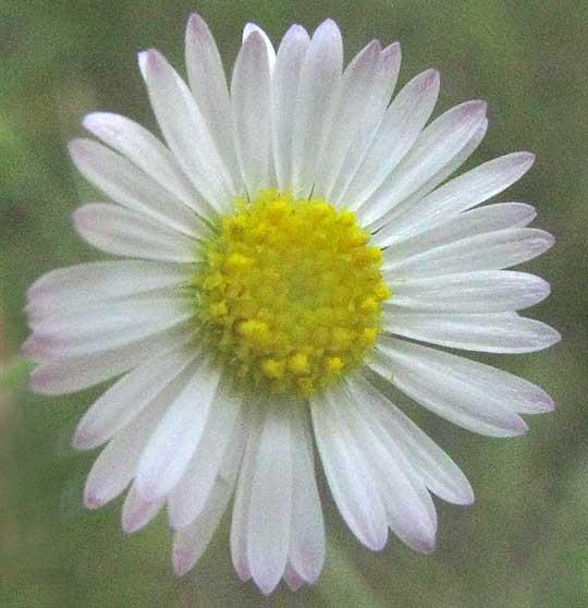 Plains fleabane erigeron modestus plains fleabane erigeron modestus flowering head from above mightylinksfo