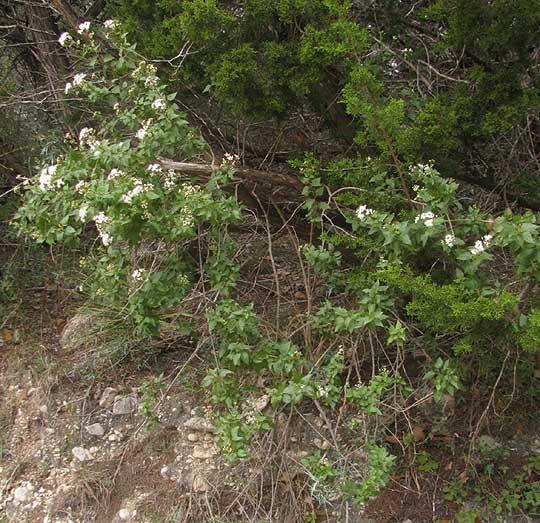 White mistflower ageratina havanensis mightylinksfo
