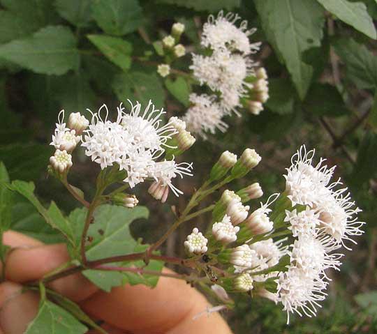 White mistflower ageratina havanensis white mistflower ageratina havanensis inflorescence mightylinksfo