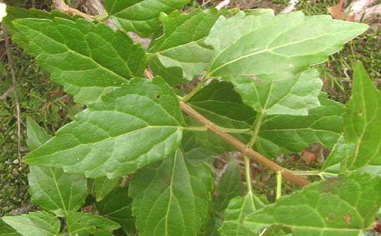 White mistflower ageratina havanensis white mistflower ageratina havanensis leaves mightylinksfo