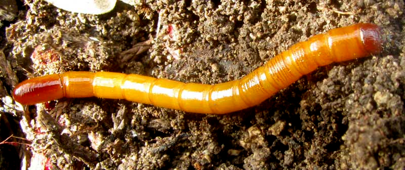 Millipede With Long Legs Wireworm