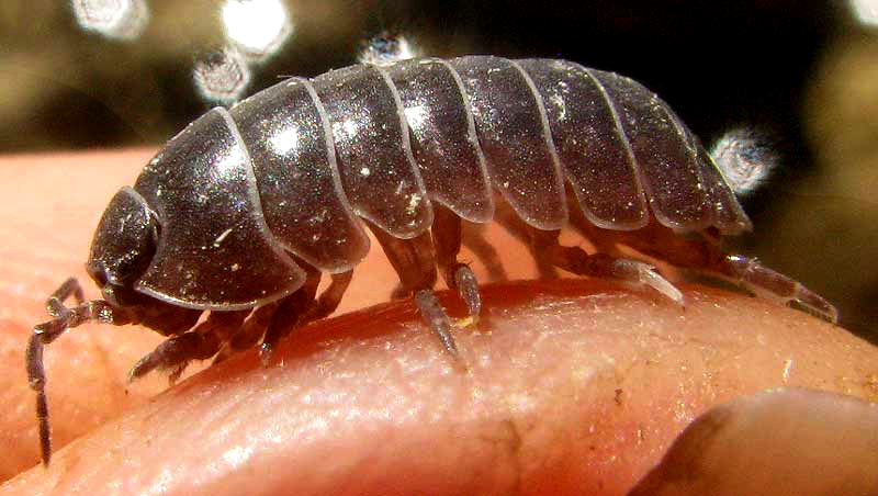conditions of pillbugs How to kill pillbugs and sowbugs, specializing in pest control products for sowbug and pillbug control, do it yourself pest control provides the products and expertise you need for residential and commercial control of pests.