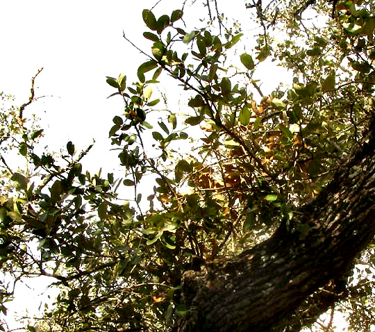 Texas Live Oak, QUERCUS FUSIFORMIS  Texas Live Oak,...