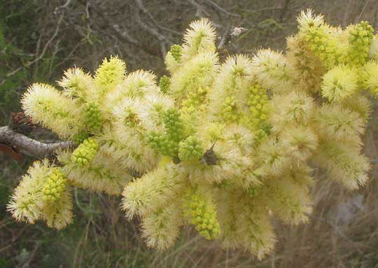 Blackbrush Vachellia Rigidula Also Acacia Rigidula