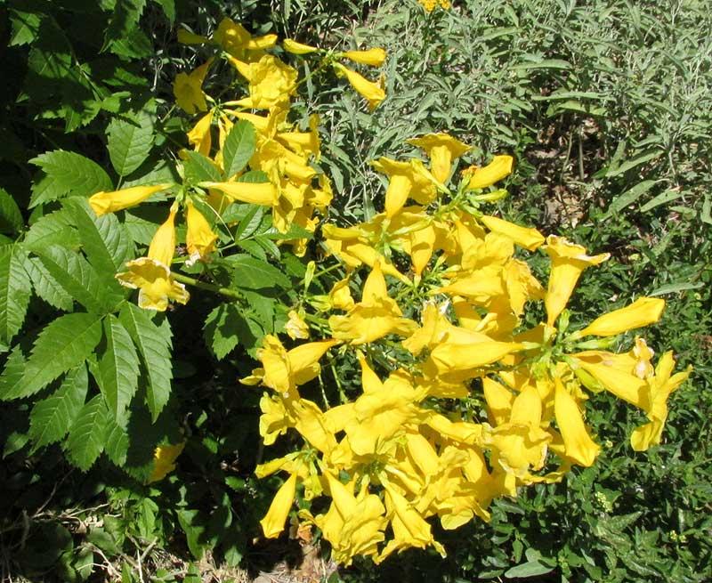 Yellow bells tecoma stans bushy cultivar yellow bells tecoma stans bushy cultivar flowers leaves mightylinksfo Images