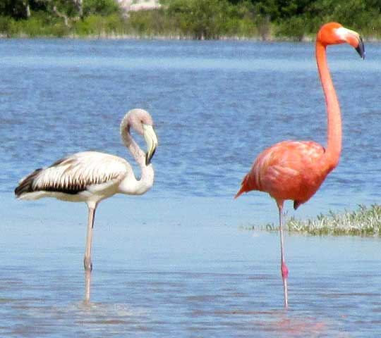 Flamingos Are Not Born Pink It S Until They Eat Enough Carotenoid Rich Foods That Their Feathers Begin To Take On The Coloration