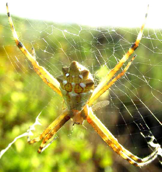 Silver Garden Spider, ARGIOPE ARGENTATA
