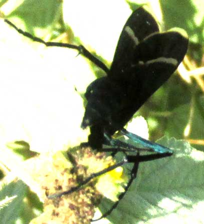 Mexican Tarantula Hawk, PEPSIS MEXICANA, white wing tips showing