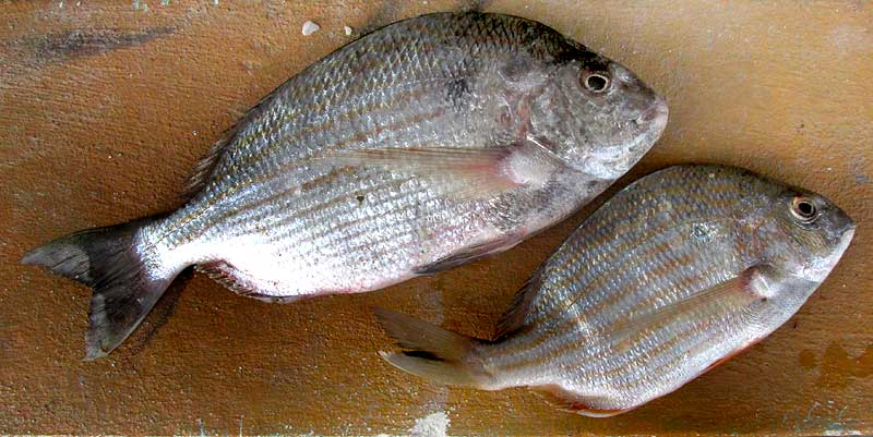 Western Atlantic Seabream, ARCHOSARGUS THOMBOIDALIS