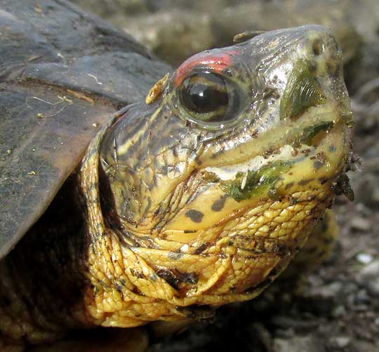 Furrowed Wood Turtle, RHINOCLEMMYS AREOLATA, head