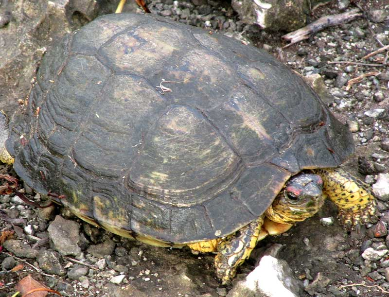 Furrowed Wood Turtle, RHINOCLEMMYS AREOLATA