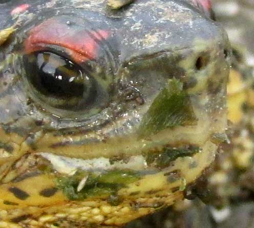 Furrowed Wood Turtle, RHINOCLEMMYS AREOLATA, indented upper mandible front