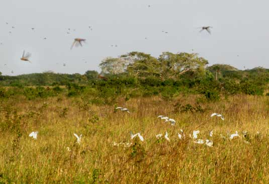 Cattle Egrets feeding on swarming locusts