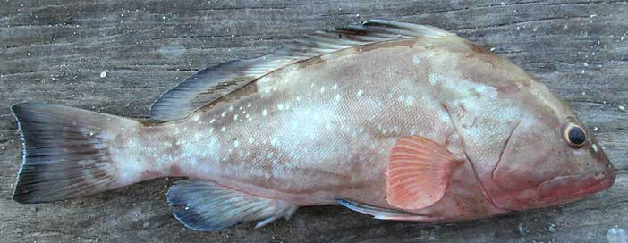 Red Grouper, EPINEPHELUS MORIO