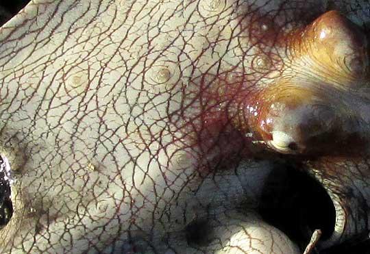 Octopus Pattern Octopus Maya Skin Pattern