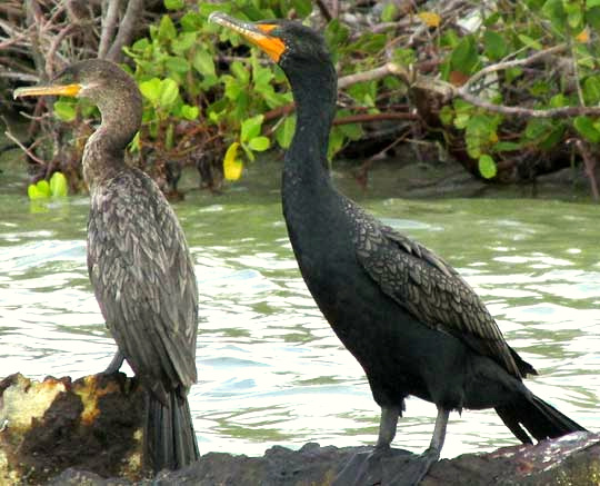 Neotropic & Double-crested Cormorants side-by-side