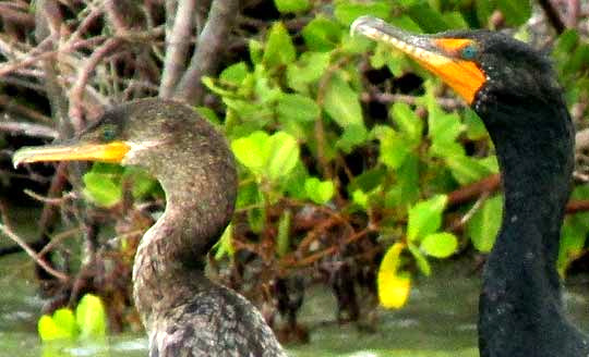 Neotropic & Double-crested Cormorants, faces side-by-side