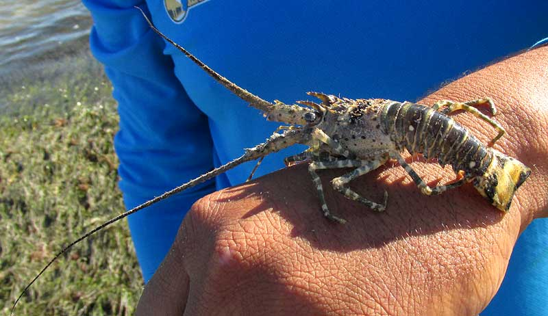 Smoothtail Spiny Lobster, PANULIRUS LAEVICAUDA