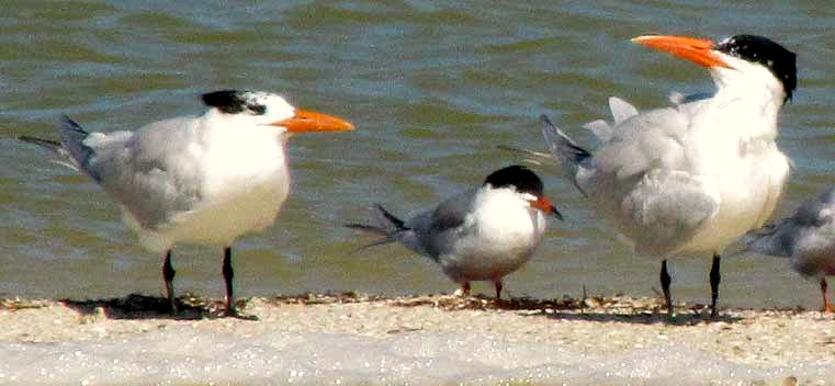 Caspian & Royal Terns, winter plumage, side by side