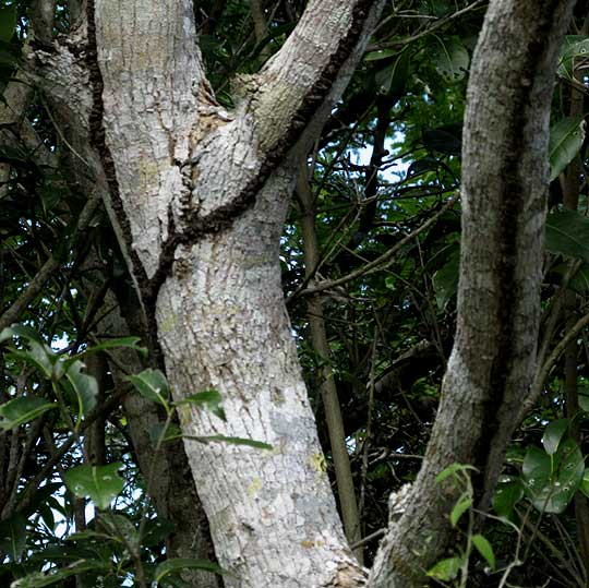 Princewood, CORDIA GERASCANTHUS, trunk with termite tubes