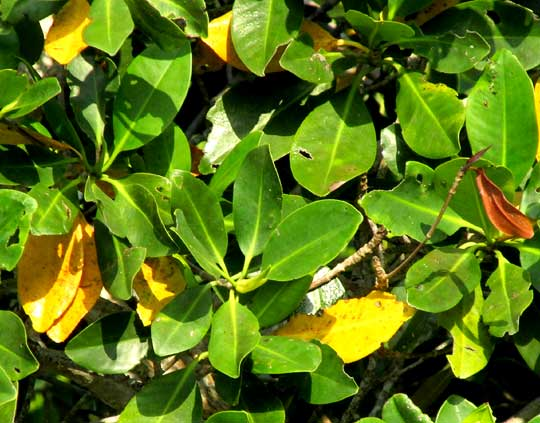 Red Mangrove, RHIZOPHORA MANGLE, leaves, some yellow