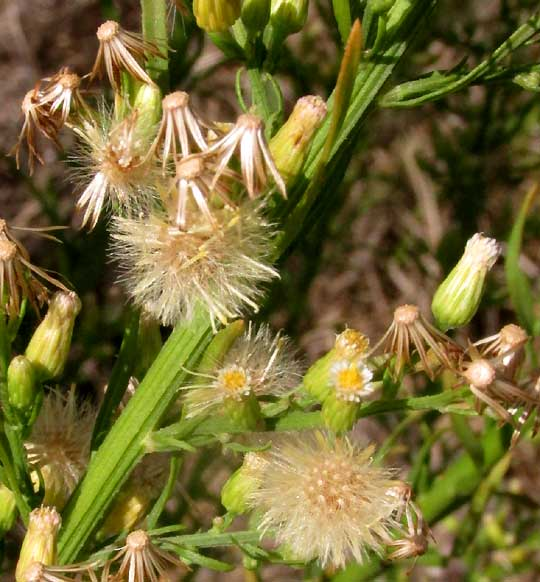 Horseweed, CONYZA CANADENSIS, flowering & fruiting heads