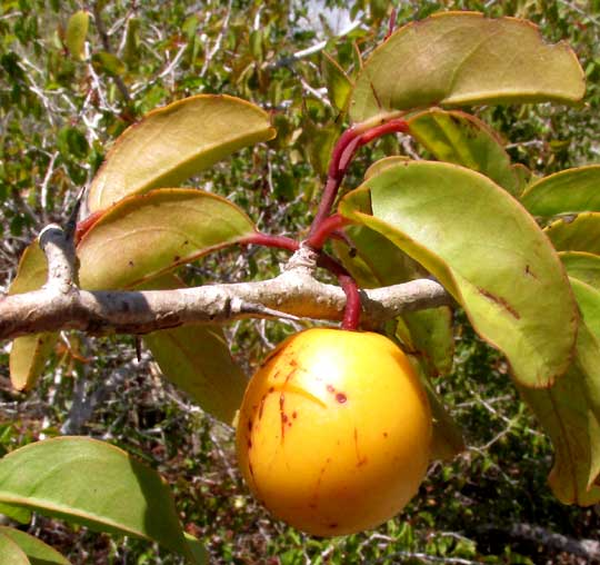 Icaco or Cocoplum. CHRYSOBALANUS ICACO, fruit
