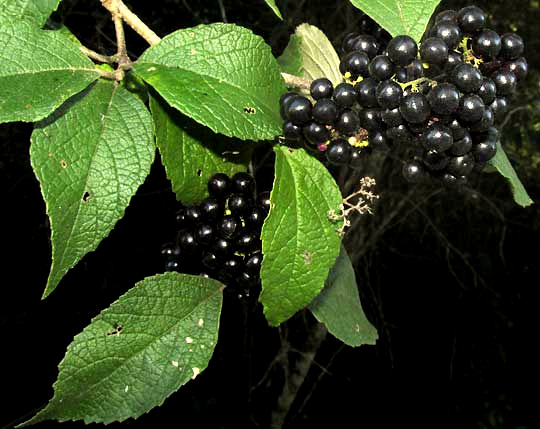 Mexican Beautyberry, CALLICARPA ACUMINATA, black fruits