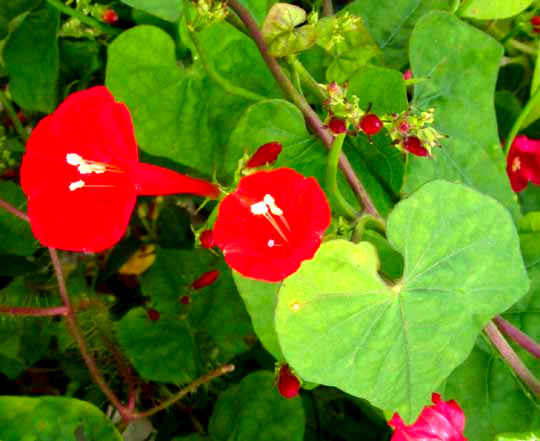 Red Morning Glory, IPOMOEA HEDERIFOLIA, flowers & leaf