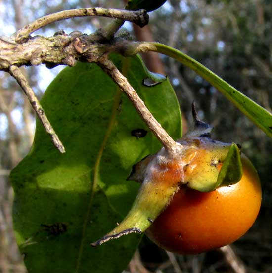 Persimmon, DIOSPYROS ANISANDRA, fruit showing sepals