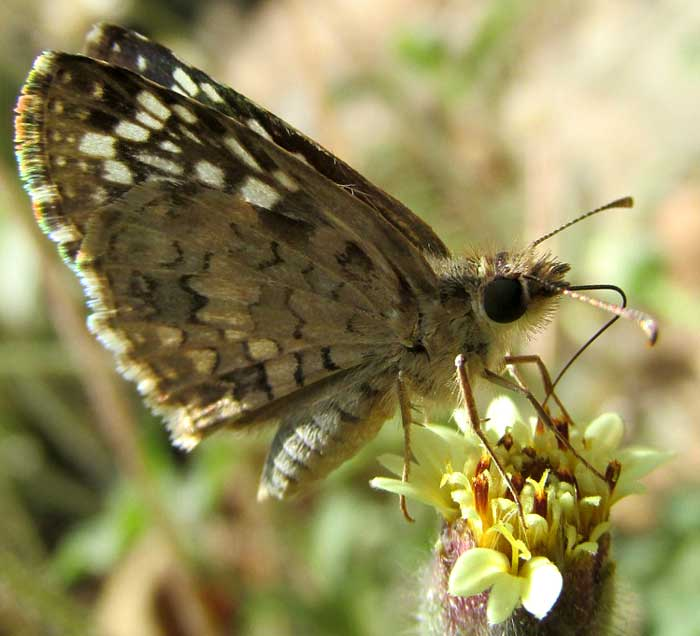 Coatbuttons, TRIDAX PROCUMBENS, visited by Tropical Checkered-Skipper, Pyrgus oileus
