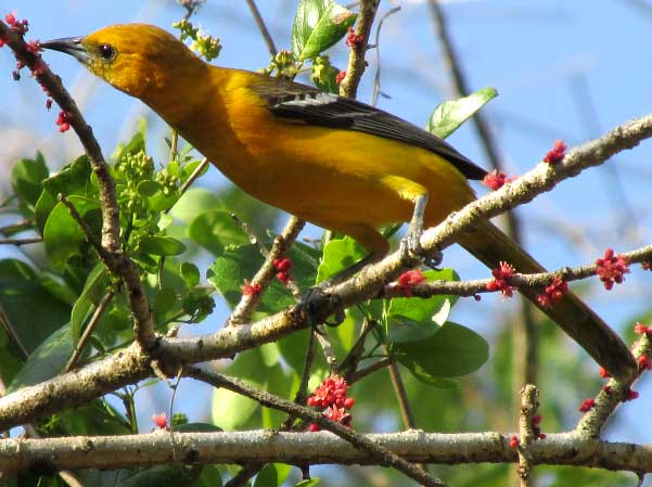 Altamira Oriole sipping flower nectar
