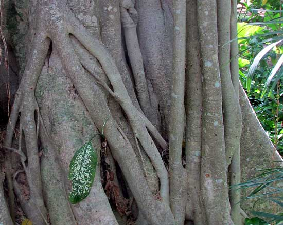 Strangler Fig, FICUS COTINIFOLIA, grafting prop-roots