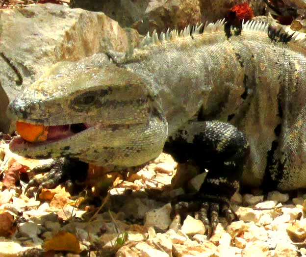 Black Iguana eating Spanish Plum