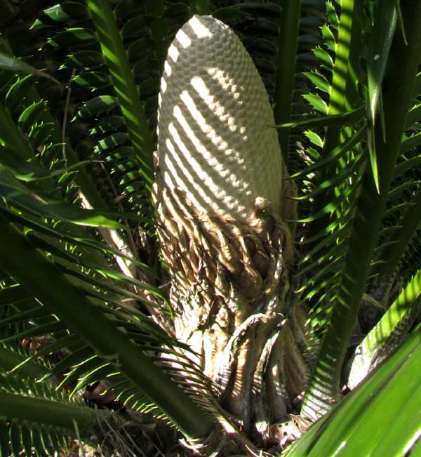 DIOON SPINULOSA issuing cone