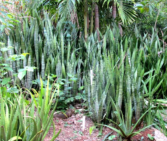 Mother-in-law Tongue, SANSEVIERIA THYRSIFLORA, invasive