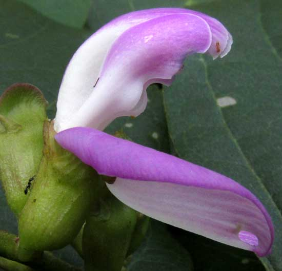 Sword Bean, CANAVALIA GLADIATA, flower side view