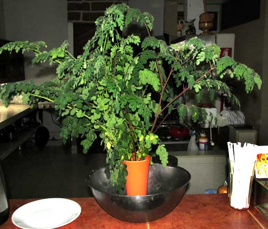 Moringa, MORINGA OLEIFERA, young branches with leaves to be collected for eating