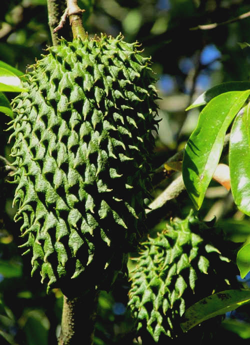 Soursop or Guanábana, ANNONA MURICATA, fruit