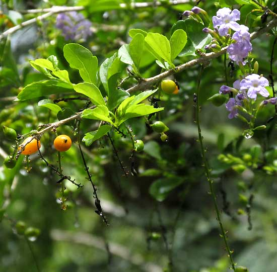 Golden Dewdrop, DURANTA ERECTA, flowers, leaves and fruits