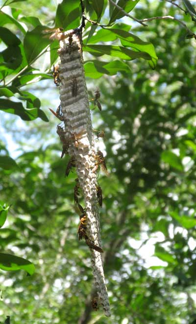 side view of nest of paper wasp, POLISTES INSTABILIS