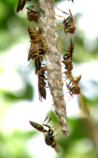 wasps ventilating nest, cf. MISCHOCYTTARUS MEXICANUS