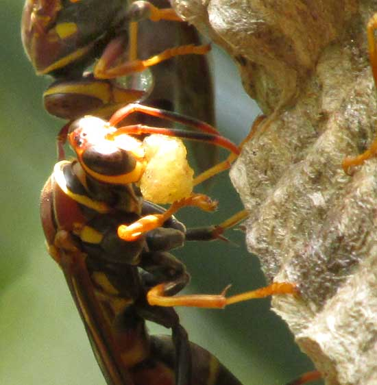 POLISTES INSTABILIS, balls of caterpillar flesh in mandibles