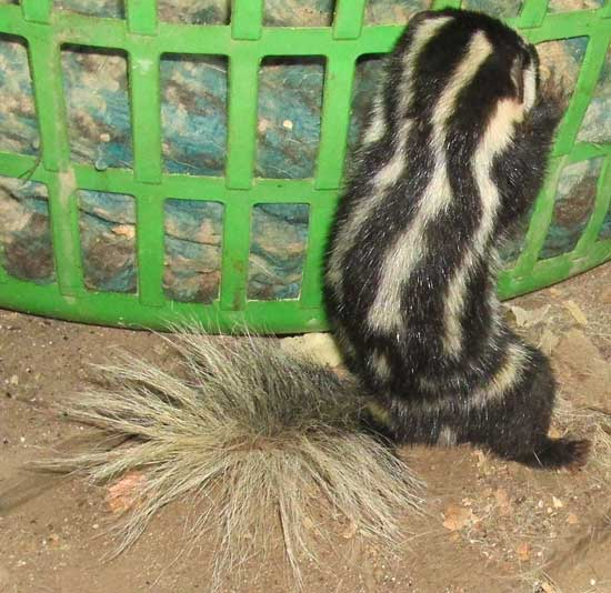 Southern Spotted Skunk, SPILOGALE ANGUSTIFRONS ssp YUCATANENSIS, back view