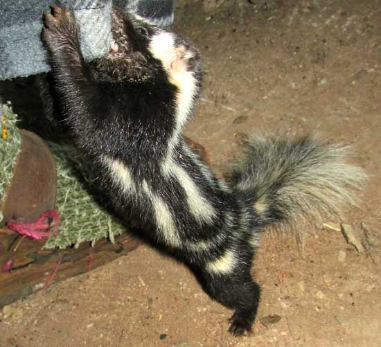 Southern Spotted Skunk, SPILOGALE ANGUSTIFRONS ssp YUCATANENSIS, attacking pajama leg