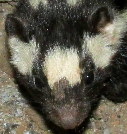 Southern Spotted Skunk, SPILOGALE ANGUSTIFRONS ssp YUCATANENSIS, face