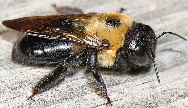 Large Carpenter Bee XYLOCOPA VIRGINICA