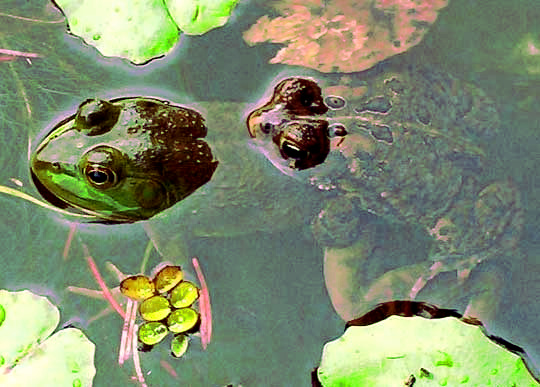 male toad mating with green frog